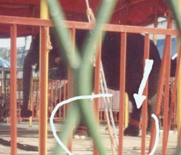 Elefante do Circo Beto Carrero. Note as amarras nas patas do animal